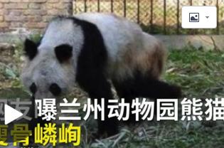 熊猫瘦成皮包骨,繁殖后代也用上了人工授精?